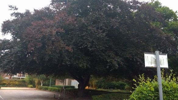 Copper Beech, The Friary