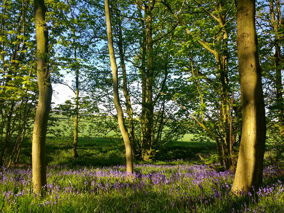 Leomansley Wood bluebells